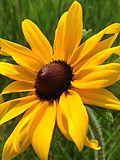 Black-eyed Susan (19338570740).jpg