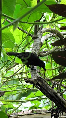 Black-hooded Antshrike, Thamnophilus bridgesi (Drake Bay).jpg