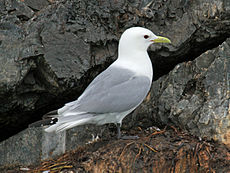Black-legged Kittiwake RWD1.jpg