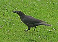 Black Currawong JCB.jpg