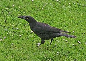 Black currawong - Gathering nesting material near Loongana, Tasmania