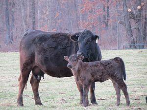 Gelbvieh - Black Gelbvieh cow and Calf