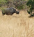 Black Rhino (Diceros bicornis minor) female browsing ... (32357131081).jpg