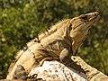 Black Spiny-tailed Iguana (16422875267).jpg