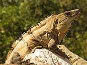 Black Spiny-tailed Iguana (16422875267).jpg