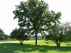 Biological interaction - The black walnut secretes a chemical from its roots that harms neighboring plants, an example of antagonism.