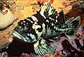 Black and yellow rockfish (16607871940).jpg