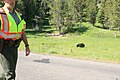 Black bear in yellowstone 4.jpg