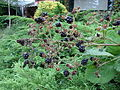 Blackberriesclose.JPG