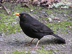 Blackbird (male).jpg