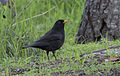 Blackbird - Turdus merula - Karatavuk 02.jpg