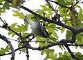 Blackpoll Warbler (33494141883).jpg