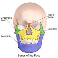 Anatomía esqueléticade la rostro.