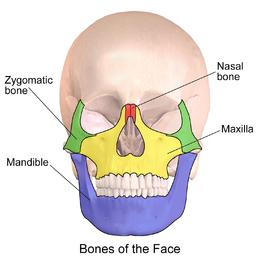 Smegenin       Vikipedija