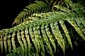 Blechnum novae-zelandiae in Auckland Botanic Gardens.jpg