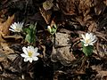 Bloodroot - Flickr - treegrow (6).jpg