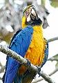 Blue-and-yellow Macaw (Ara ararauna) (28311258706).jpg