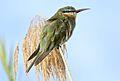 Blue-cheeked bee-eater, Merops persicus, Chobe National Park, Botswana (32445451926).jpg