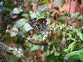 Blue Butterfly (4826709481).jpg