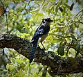 Blue Jay Cyanocitta cristata (38037104376).jpg