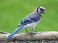 Blue Jay RWD4.jpg