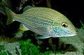 Blue Stripe Grunt. Haemulon sciurus.jpg