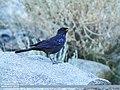 Blue Whistling Thrush (Myophonus caeruleus) (35037780643).jpg