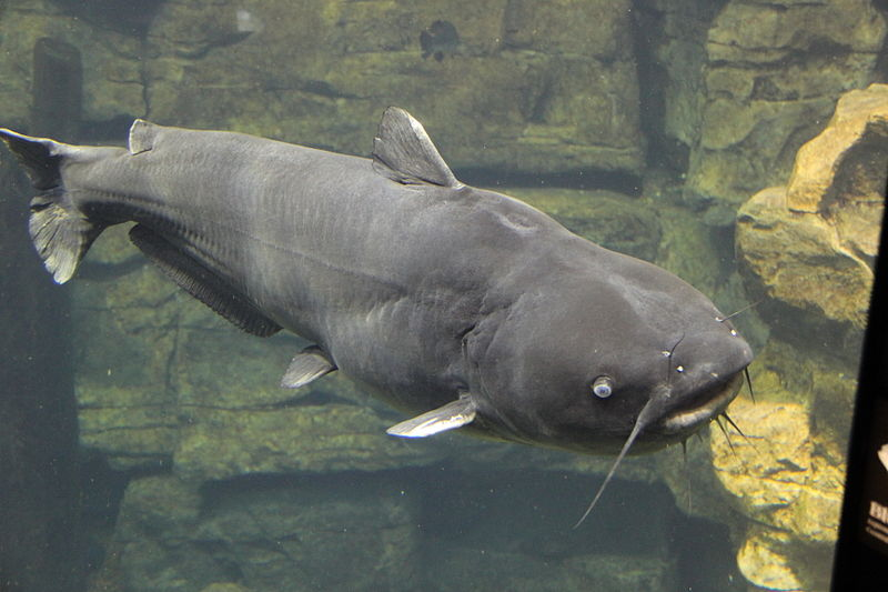File:Blue catfish tenn aquarium.JPG