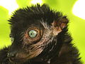 Blue eyed black lemur face by Bruce McAdam.jpg