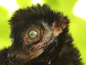 Blue-eyed black lemur - Detail of face showing blue eyes