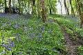 Bluebells beside track at Coed Arthur - Llancarfan - geograph.org.uk - 1297556.jpg