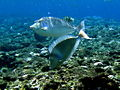 Bluespine unicornfish green island.jpg
