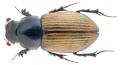 Bodilus longispina (Kuester, 1854).png
