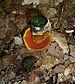 Boletus erythropus 2010 G2.jpg