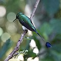 Booted racket-tail (47776824592).jpg