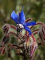 Borago officinalis (flower).jpg