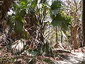 Borassus aethiopum 0093.jpg