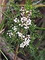 Boronia anethifolia leaves and flowers.jpg
