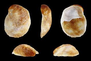 <i>Bostrycapulus aculeatus</i> species of mollusc