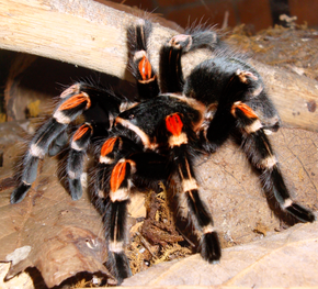 Description de l'image Brachypelma auratum kiel.png.