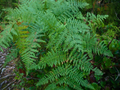 Bracken Ferns on Kaien Island, British Columbia, Canada.png
