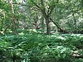 Bracken carpet in woodland - geograph.org.uk - 1379348.jpg