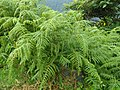 Bracken like fern Coonoor ph 01.jpg