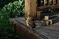 Brampton ON Baby-Robin Turdus-Migratorius-(Juvenile) 2017-05-18 (cropped).jpg