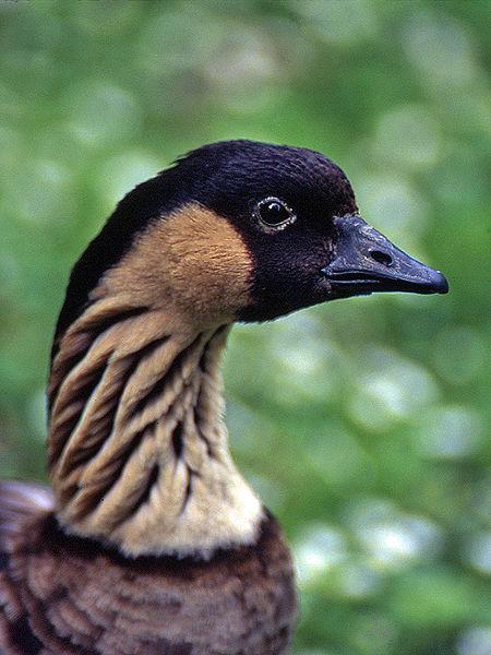 Mystery Bird: Nene, Branta sandvicensis – Living the ... |Hawaiian Goose Branta Sandvicensis