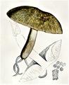 Bresadola - Collybia grammocephala.png