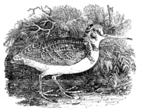 Brief History of Wood-engraving Bewick Woodcock.png