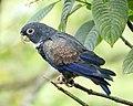 Bronze-winged parrot (40882670343).jpg