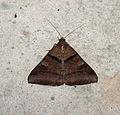 Brown-striped Semilooper Mocis undata (22483380937).jpg