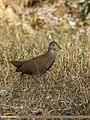 Brown Crake (Amaurornis akool) (46892847394).jpg